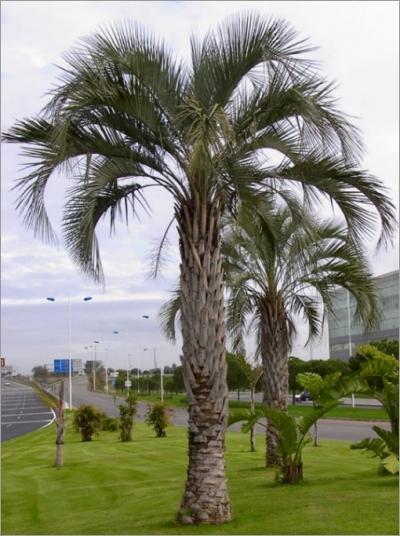 Butia capitata seeds - Tipi di palma da giardino ...
