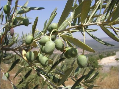 Image result for olea europaea