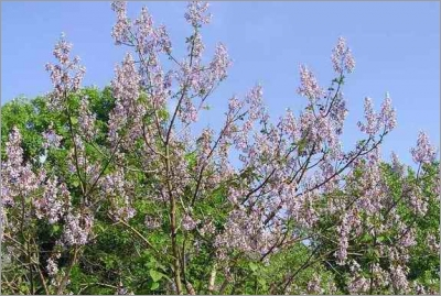 شجرة البولونيا