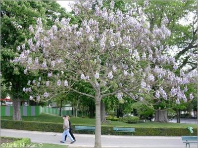 """شجرة الاميرة """" الباولونيا """""""