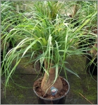 identification d'une plante MiniBeaucarnea-recurvata
